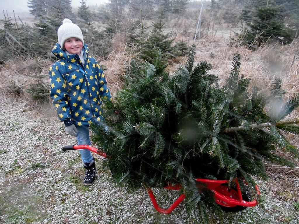 Der Weihnachtsbaum liegt auf der Schubkarre, während der Junge daneben steht